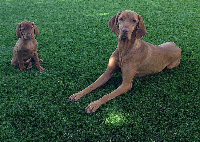 dogs love artificial grass